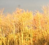 gold-crop
